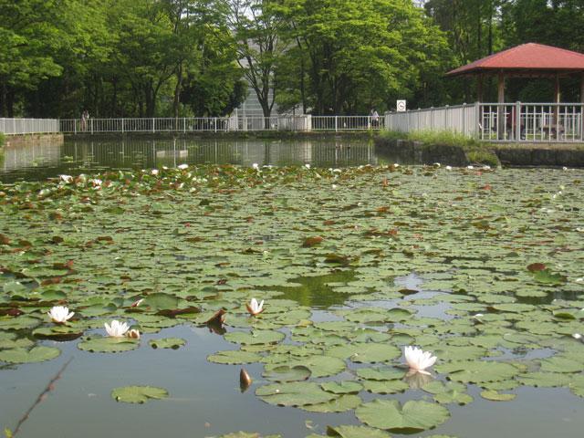 猿江恩賜公園、ミニ木蔵の睡蓮